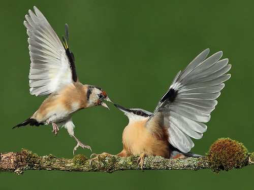 Nuthatch and Goldfinch dispute