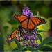 October Monarchs by Summerside90
