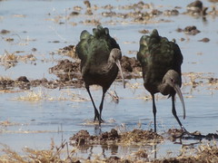 White-faced Ibis, Garst Road, Salton Sea, CA 9/23/2018