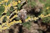 Woodchat Shrike, Barns Ness, East Lothian, Scotland by Terathopius