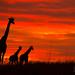 Giraffe silhouettes against an african sunrise by ilana.block