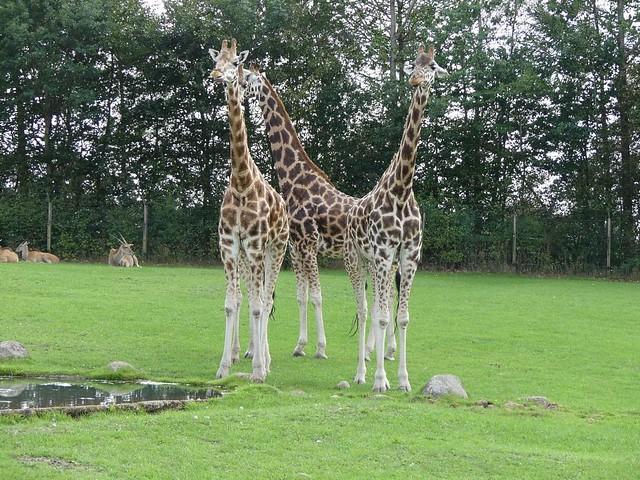 Afrikaanlage, Zoo Givskud