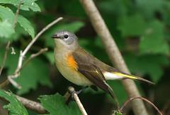 Redstart, Immature Male