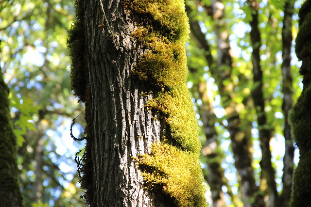 Mossy Bigleaf Maple, Sherwood, Canon EOS 100D, Canon EF-S 18-135mm f/3.5-5.6 IS