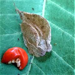 Ashwagandha berry