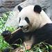 Giant panda at Beijing zoo, China