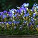 Violas enjoy full bloom