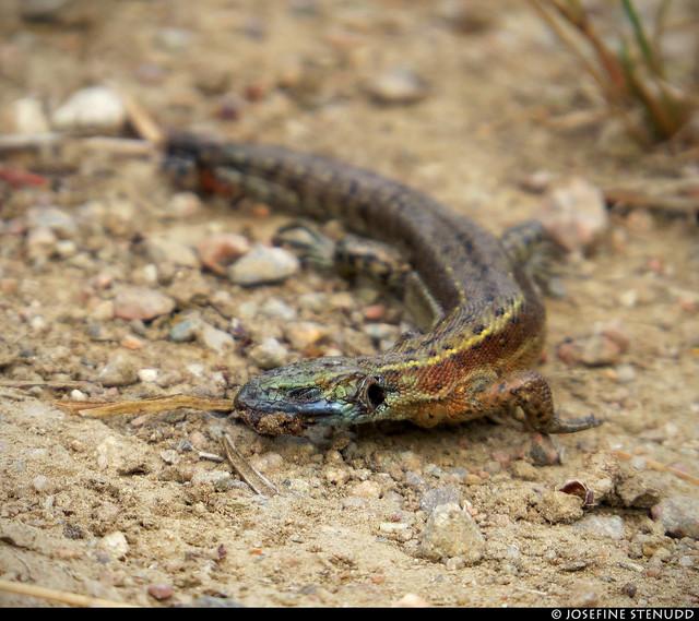 20180802_05 Dead lizard on forest road | The trail Bohusleden, section 14 - Bovik to Metsjö | Bohuslän, Sweden