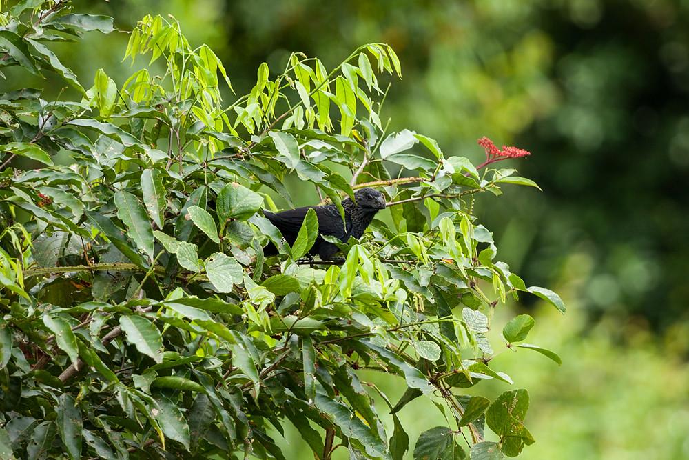 Гладкоклювая ани (Crotophaga ani)