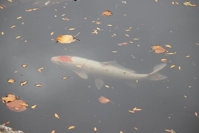 Autumn carp