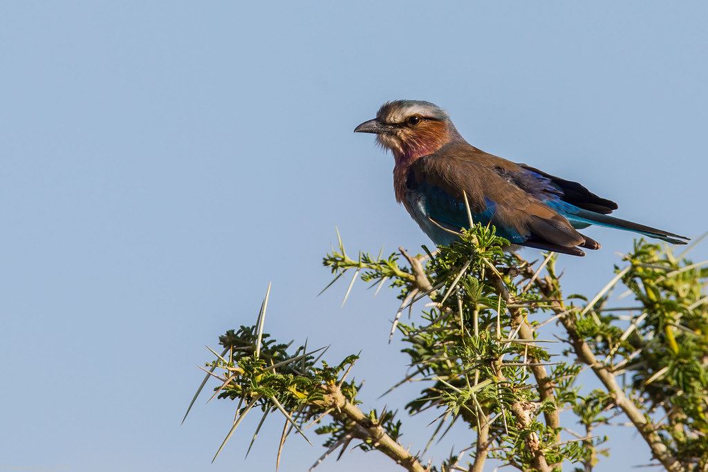Serengeti_17sep18_09_lilac-breasted roller