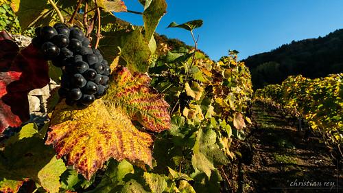 Vignes de Cheyres en automne (Switzerland)