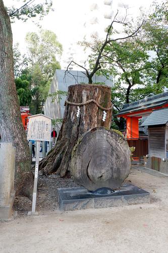 2018.10.27 生田神社 楠の神木