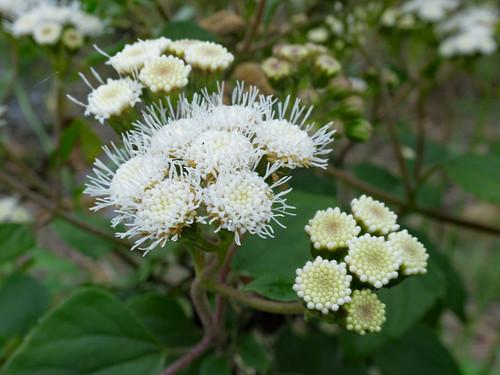 Ageratina adenophora flowerhead NC7