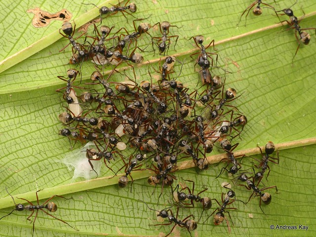 Ants carrying larvae, Dolichoderus sp.