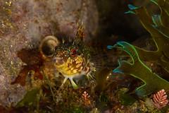 islandkelpfish2Sept28-18