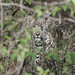 Leopards are such elusive predators..