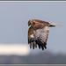 Marsh Harrier (M),  Circus aeruginosus