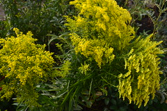 SOLIDAGO rugosa 'Loysder Crown'