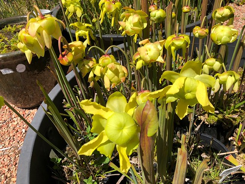 Sarracenia flava var. atropurpurea in flower, 2018-2019 season