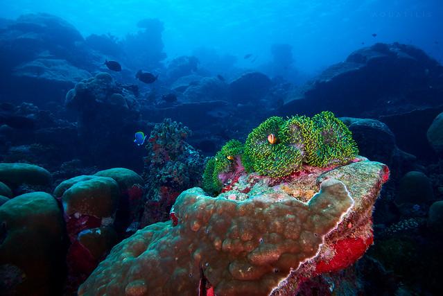 Maldivian reef with Heteractis magnifica actinia