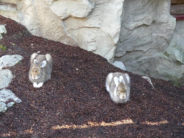 Schneehasen, Tierpark Hellabrunn