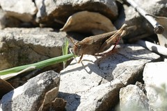 Broad Green-winged Grasshopper (Aiolopus strepens) eating grass ...