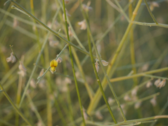 Crotalaria burhia Benth., Panasonic DMC-G5, LEICA DG MACRO-ELMARIT 45mm F2.8