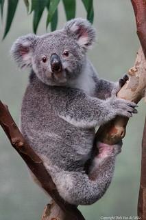 """Awake    Koala    """"Phascolarctos cinereus """""""