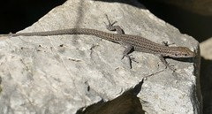 Catalonian Wall Lizard (Podarcis liolepis) female ...