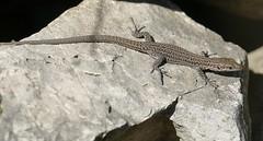 Catalonian Wall Lizard (Podarcis liolepis) female ...