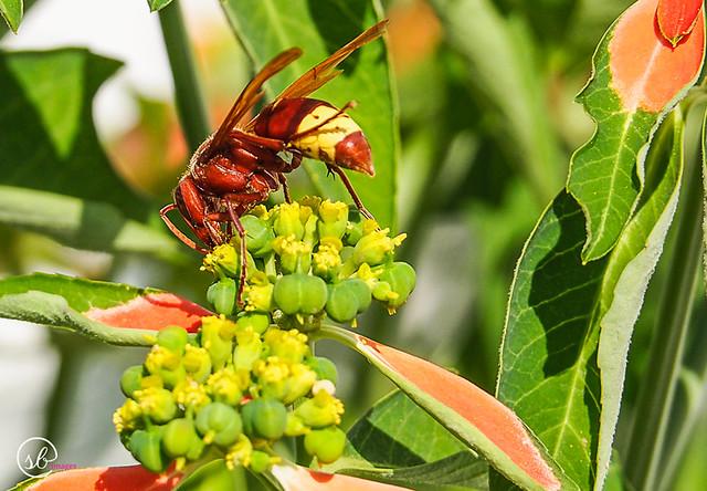 Hornet Wasp, Tilos
