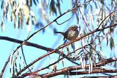 Song Sparrow/ Centennial Park