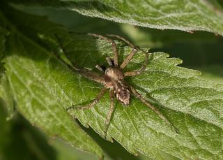 Arachtober 20 - Philodromus sp. (Wandering crab spider)