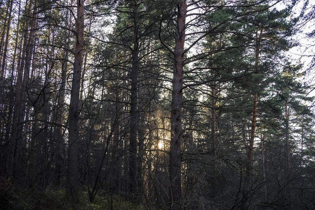 Сосновый лес,это бор!
