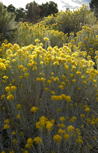 The yellow flowers of Rabbit Bush at Mesa Verde in Colorado, USA