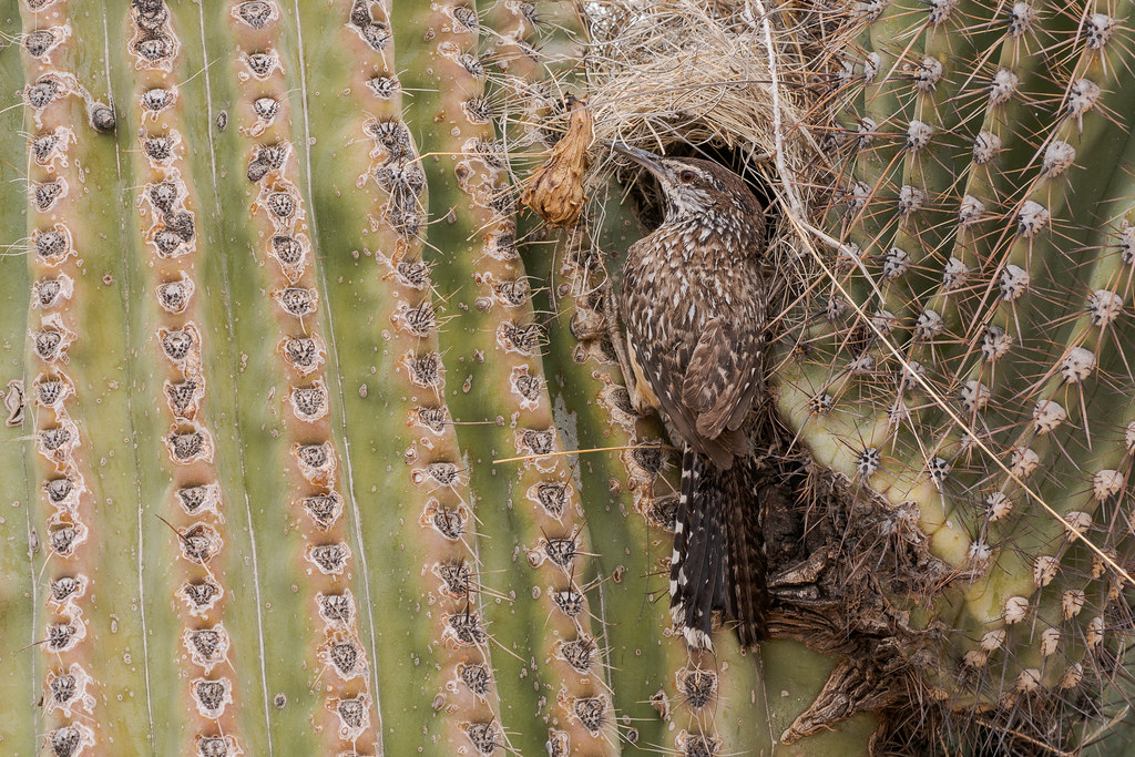 A cactus wren prepares to enter its nest in the arms of a saguaro, the nest has a side entrance and a covered roof