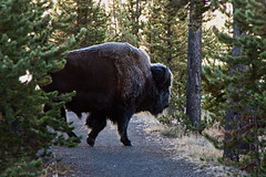 Bison with Frosted Fur - Yellowstone  National Park