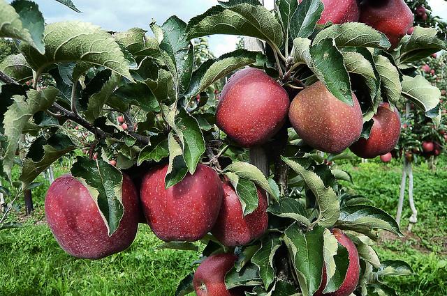 Apples ... (1180198)