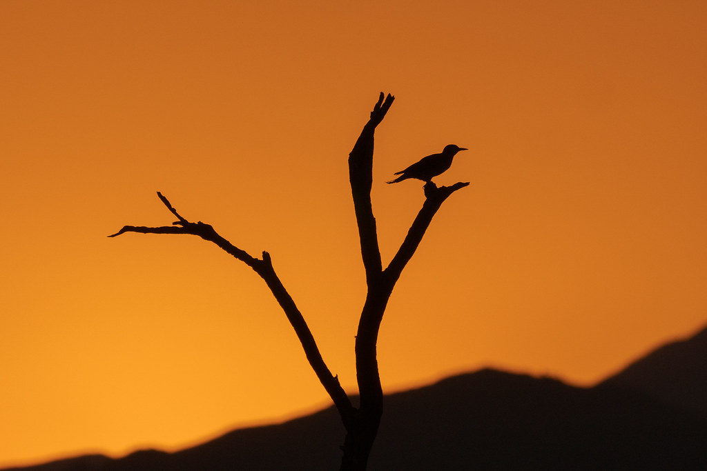 A gilded flicker is silhouetted against an orange sky as it perches atop a dead tree at sunrise along the Bootlegger Trail in McDowell Sonoran Preserve