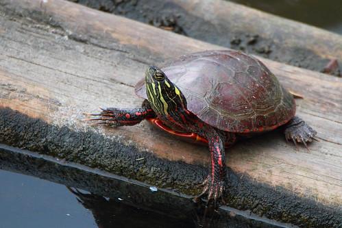 painted turtle mckenziemarsh