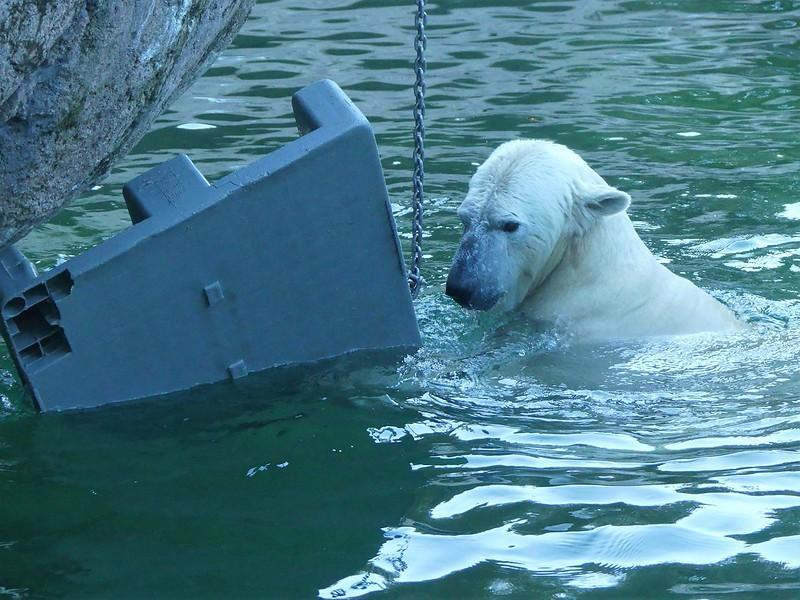 Eisbär, Tierpark Hellabrunn