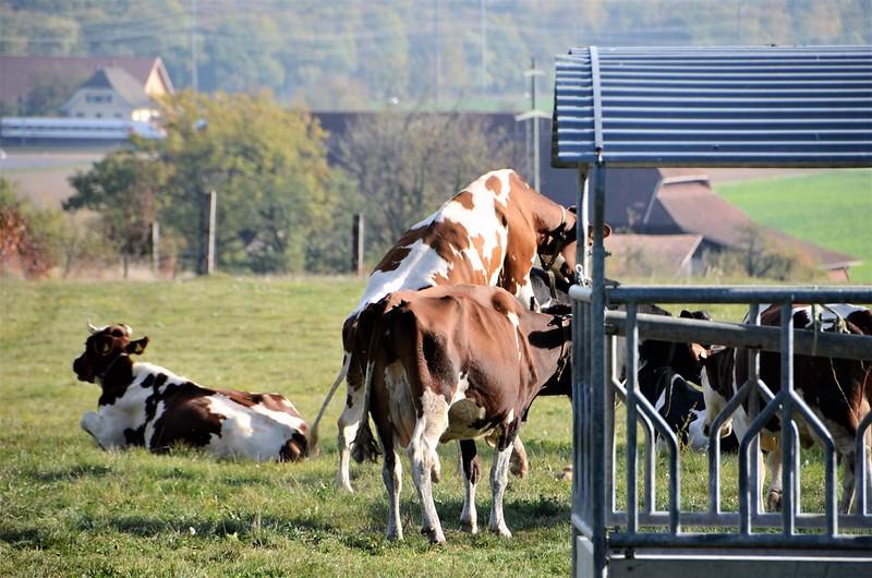 Cows 17.10 (9)