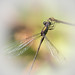 Libellule - Dragonfly by sebastienpeguillou