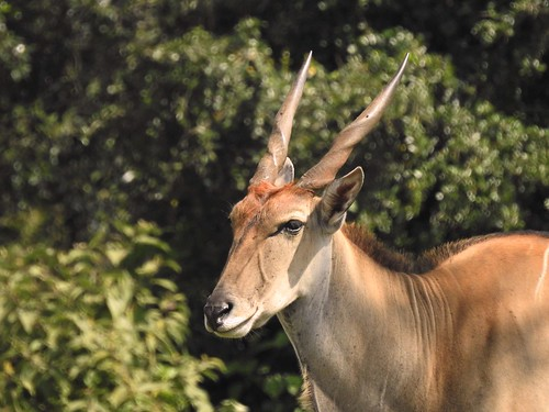 kudu antelope browser inthewild grazer closeup aberdare aberdarenationalpark africa safari africansafari horns twistedhorns p900 jennypansing kenya portrait eland