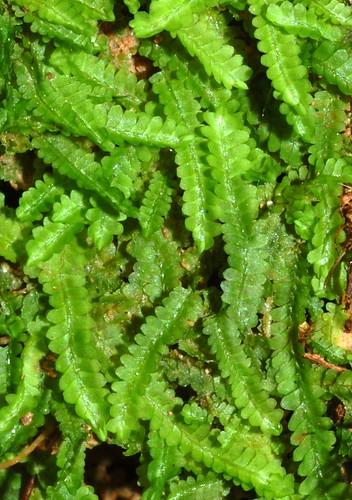 Notoscyphus lutescens DSC_0411