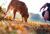 dog and leaves