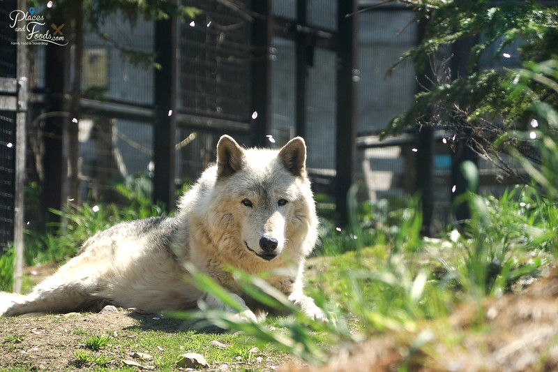 sapporo maruyama zoo white wolf
