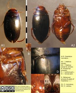 Copelatus inornatus Sharp, 1882:569. Female and male, habitus dorsal and ventral, and various details.