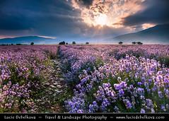 Bulgaria - Lavender fields in full bloom at Sunset